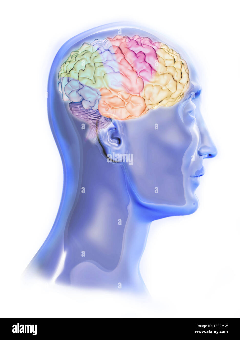 Head with Visible Brain, Illustration - Stock Image