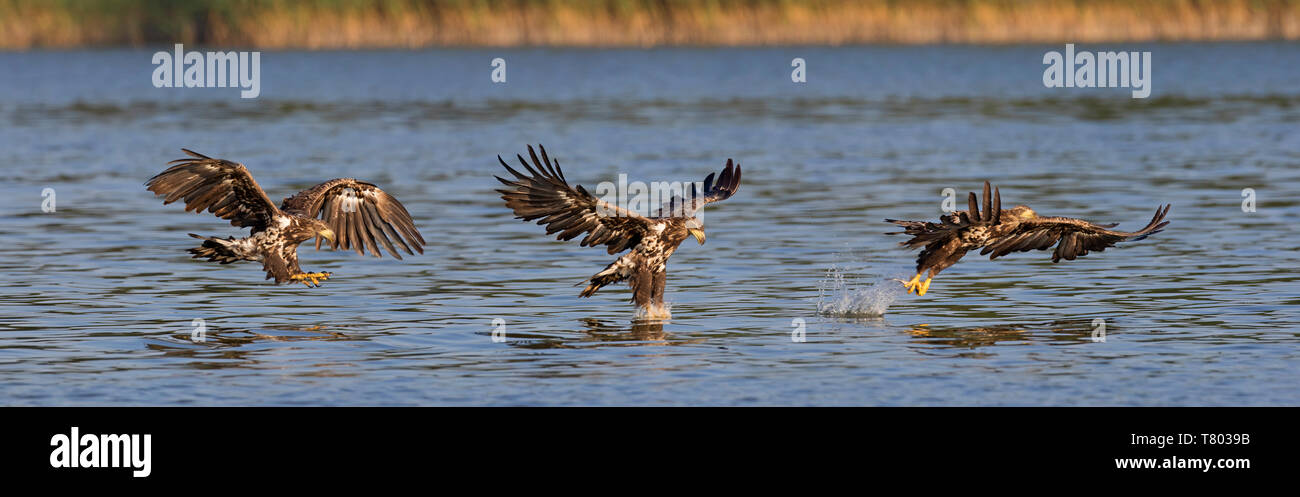 Sequence of white-tailed eagle / sea eagle / erne (Haliaeetus albicilla) juvenile in flight catching fish in its talons from lake's water surface - Stock Image
