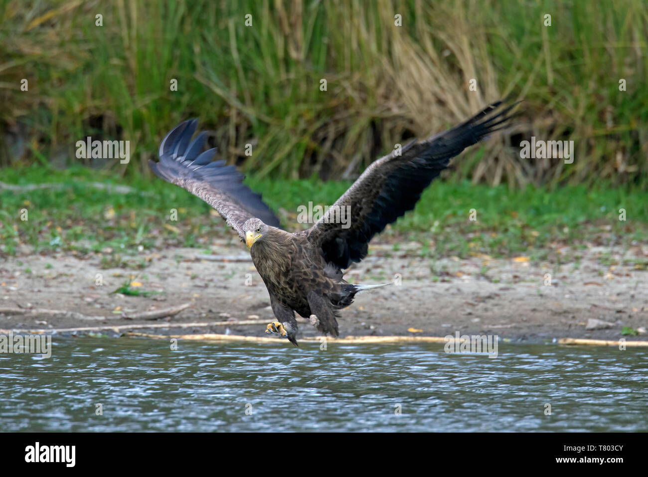 White-tailed eagle / sea eagle / erne (Haliaeetus albicilla) adult in flight catching fish in its talons from lake's water surface (part of sequence) Stock Photo