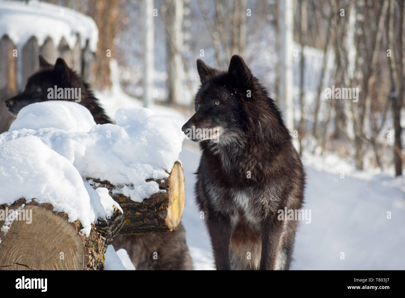 Two black canadian wolves are standing on the white snow. Canis lupus pambasileus. Animals in wildlife. Stock Photo