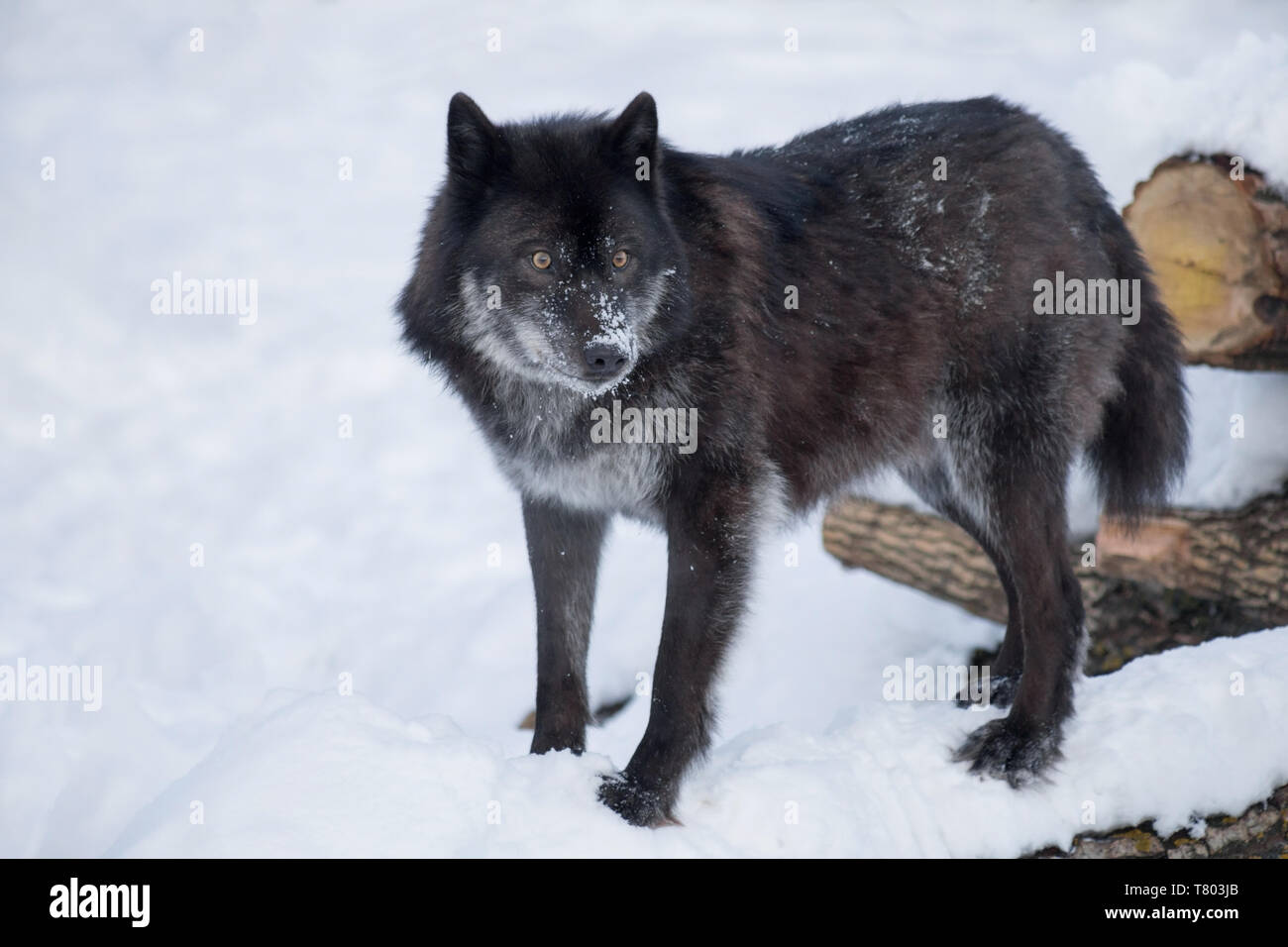 Black canadian wolf is standing on a white snow. Canis lupus pambasileus. Animals in wildlife. Stock Photo