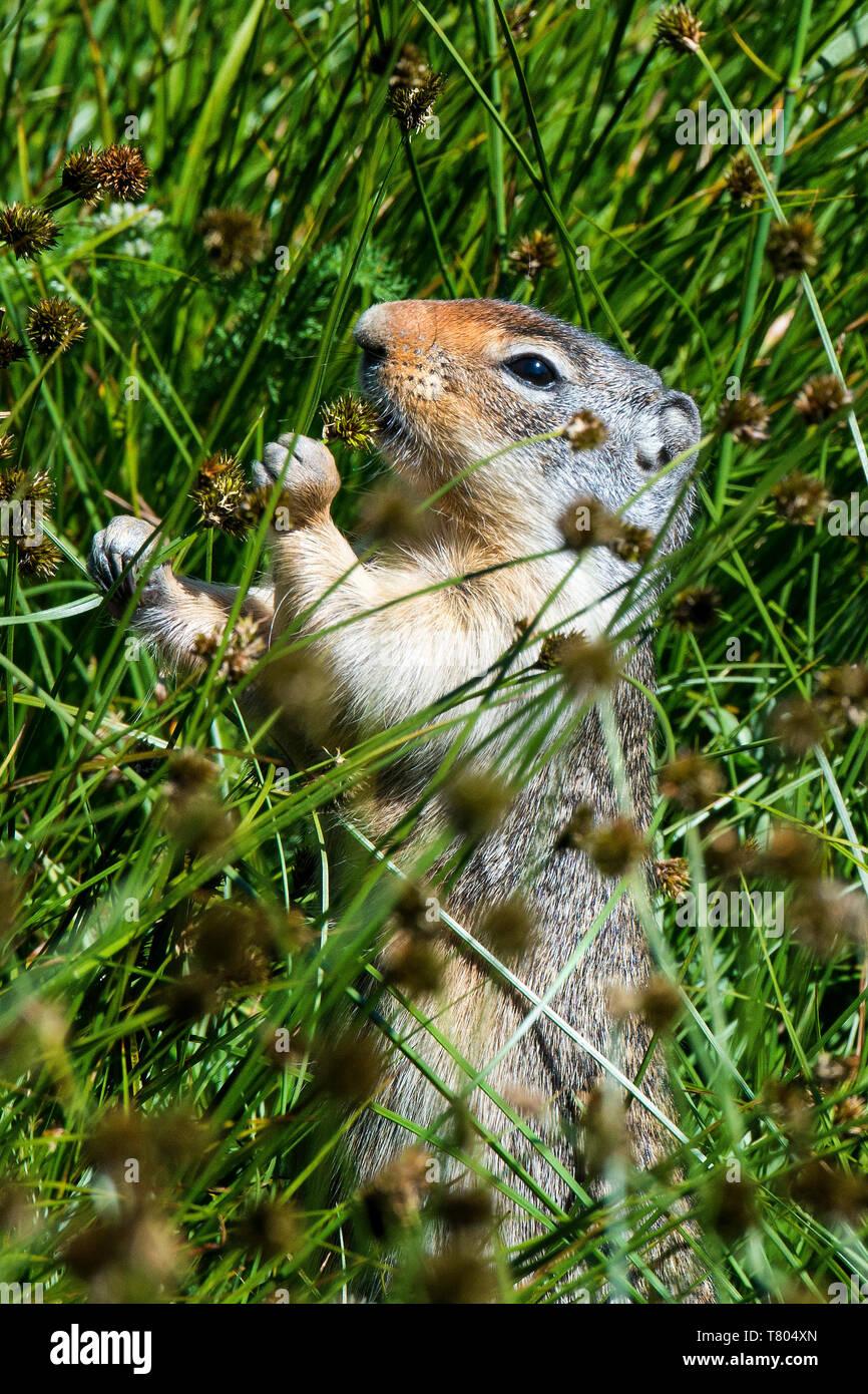 Columbian Ground Squirrel - Stock Image
