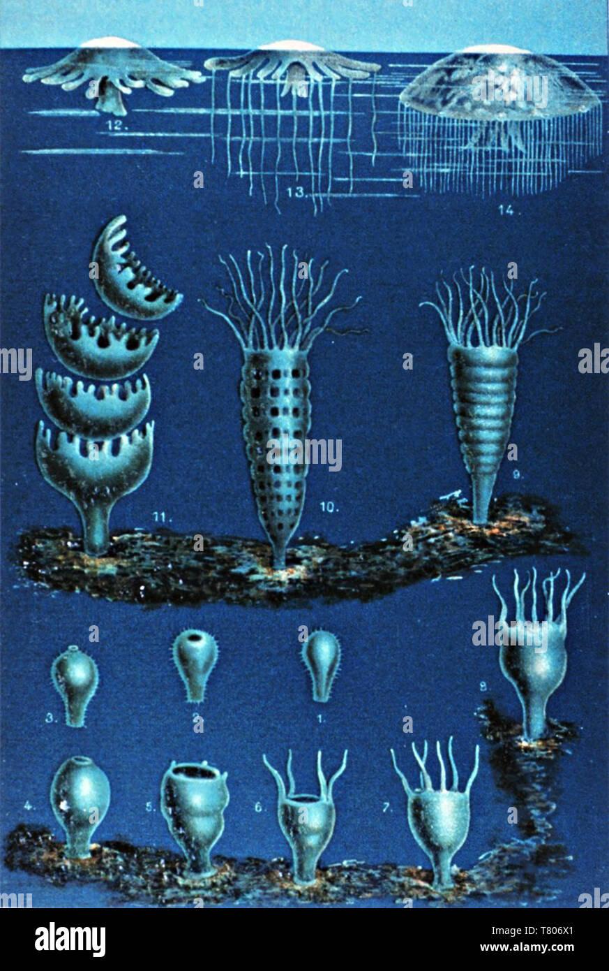 Matthias Jakob Schleiden, Life Cycle of Scyphozoas, 1869 Stock Photo