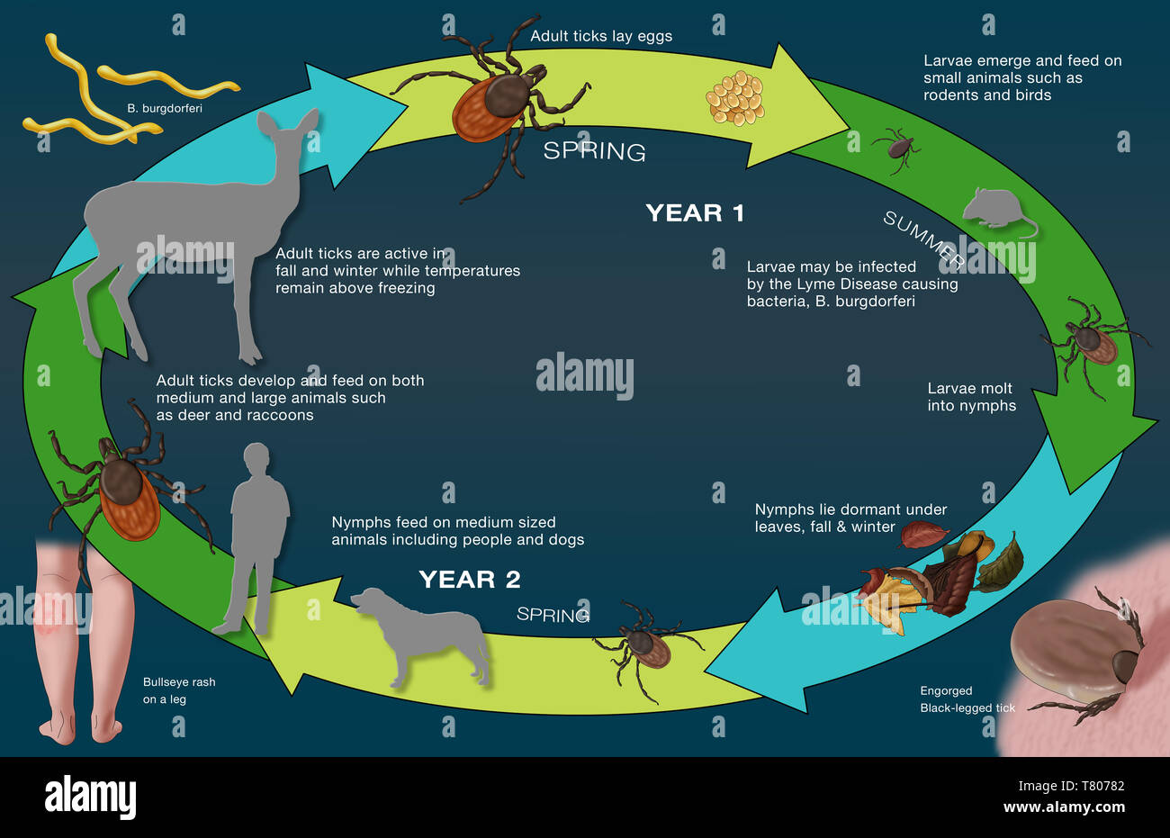Life Cycle of the Black-legged Tick and Lyme, Illustration - Stock Image