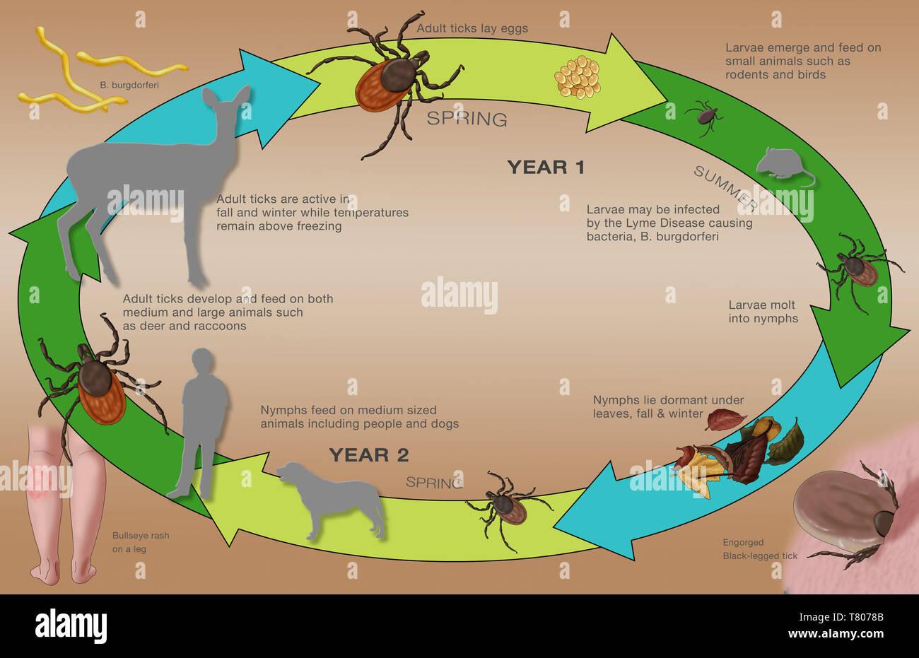 Life Cycle of the Black-legged Tick & Lyme, Illustration - Stock Image