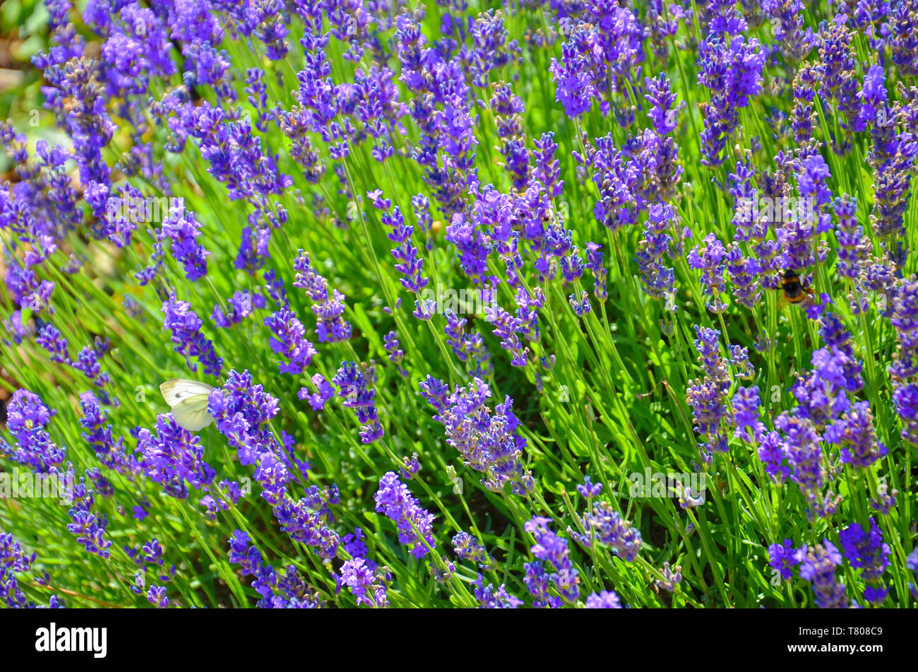 Beautiful blooming mealy sage, Salvia farinacea, taken close up. The amazing purple healing herb attracts butterflies and bumblebees. - Stock Image