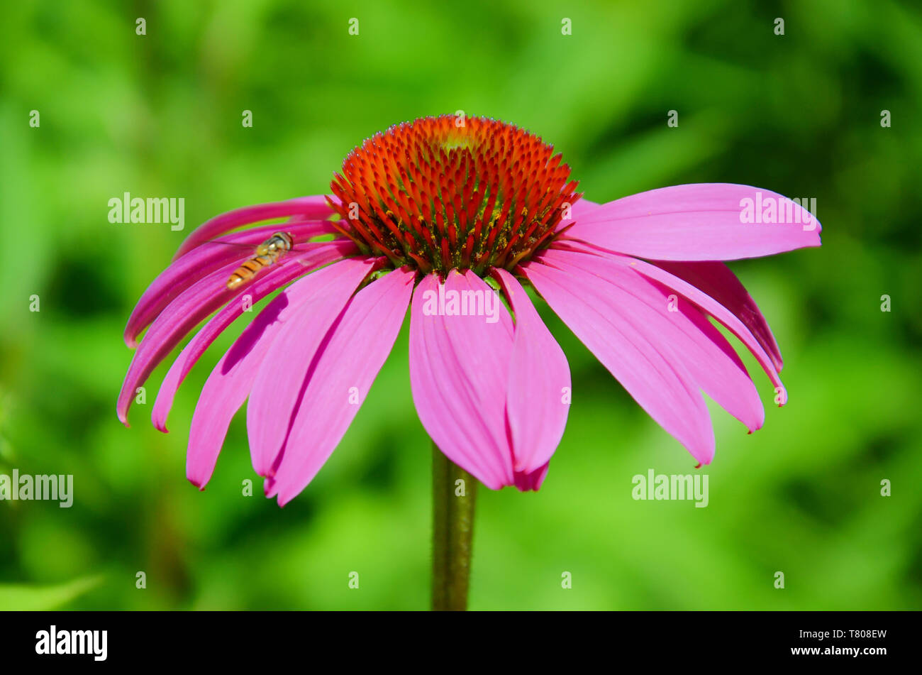 Macro photography of Echinacea purpurea, eastern purple coneflower or also hedgehog coneflower captured together with a hoverfly flying around. The picture has blurred green background. - Stock Image