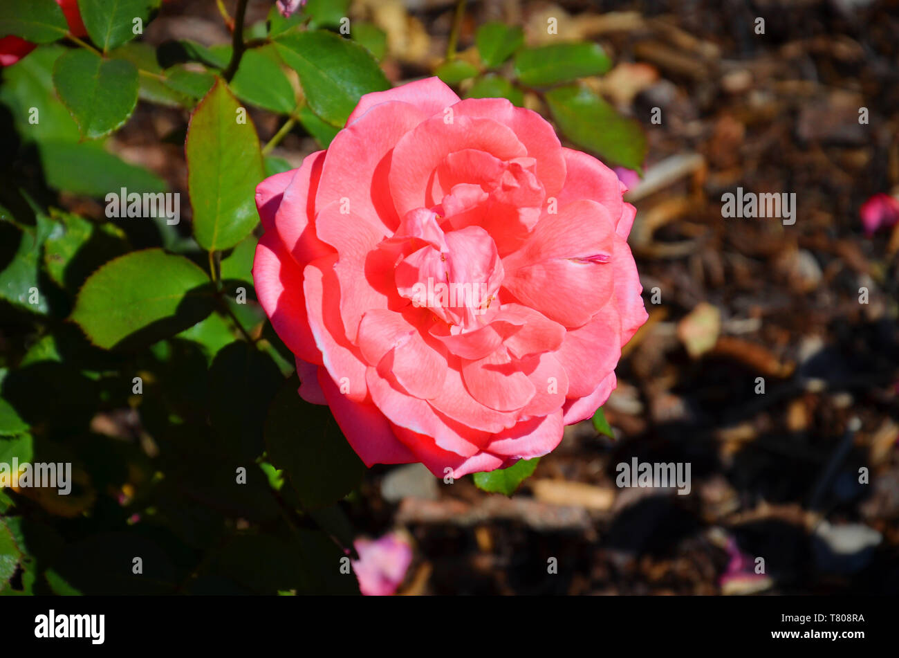Amazing close up photography of pink Hybrid tea rose, Rosaceae, taken from above during spring season. The background of the photography is blurred, brown and green. - Stock Image