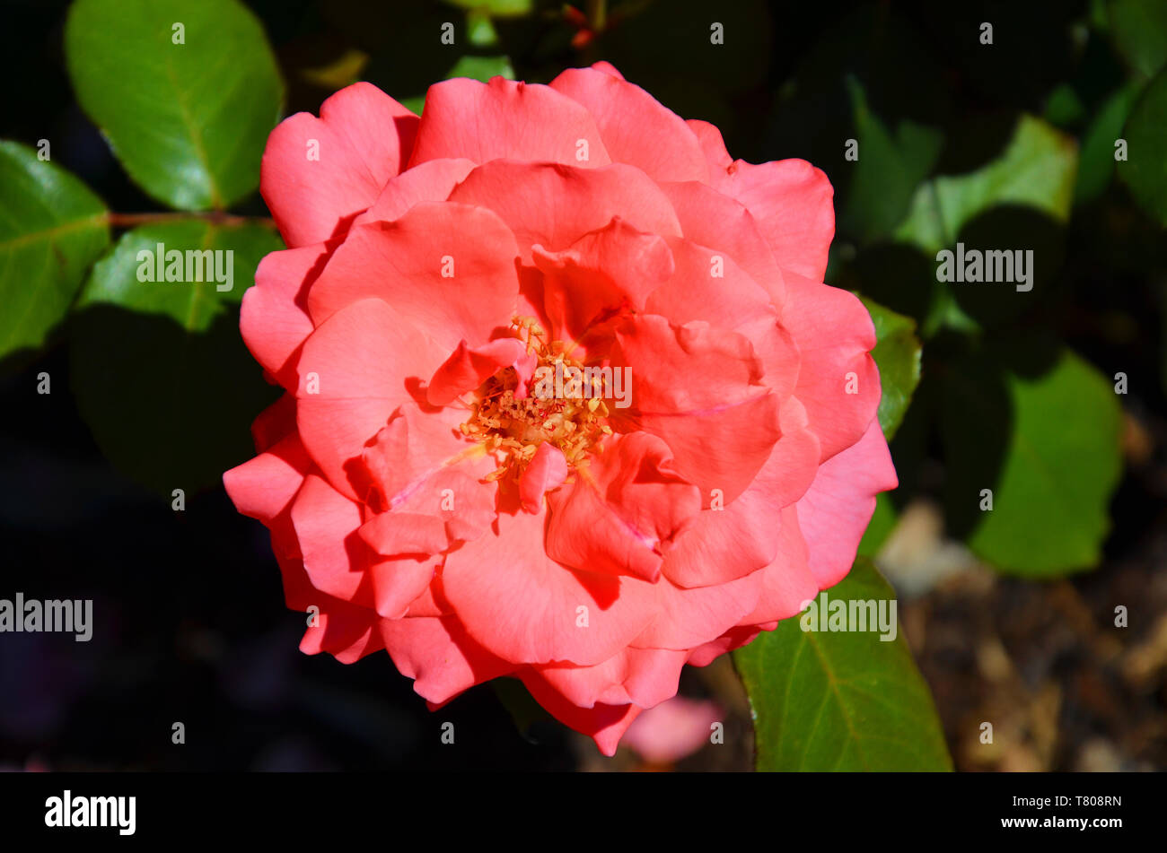 Beautiful detail of pink hybrid tea rose, Rosaceae, taken from above with blurred background. Hybrid tea is an informal horticultural classification for a group of garden roses. - Stock Image