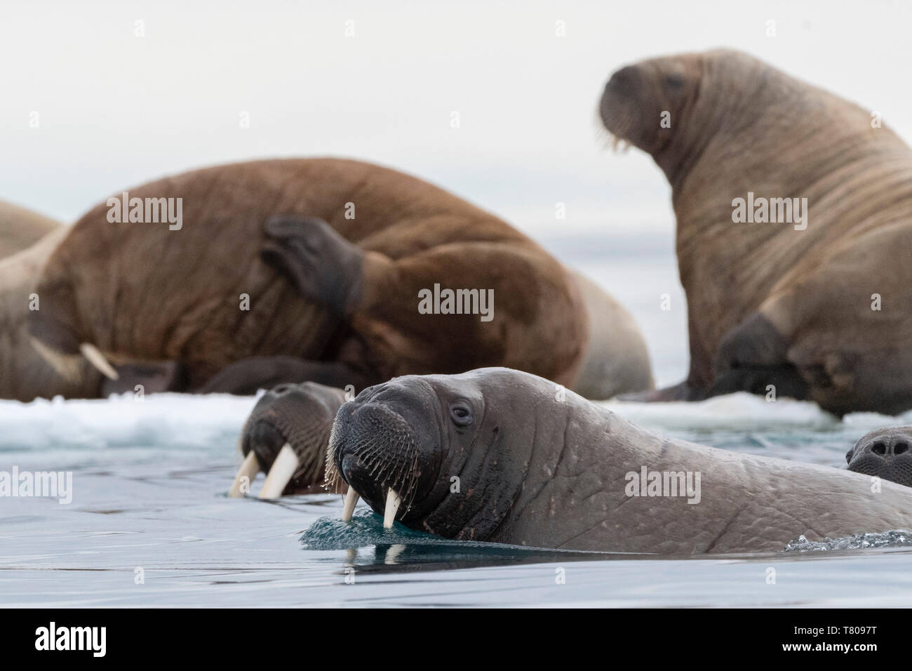 Atlantic walruses (Odobenus rosmarus), Vibebukta, Austfonna, Nordaustlandet, Svalbard Islands, Arctic, Norway, Europe Stock Photo