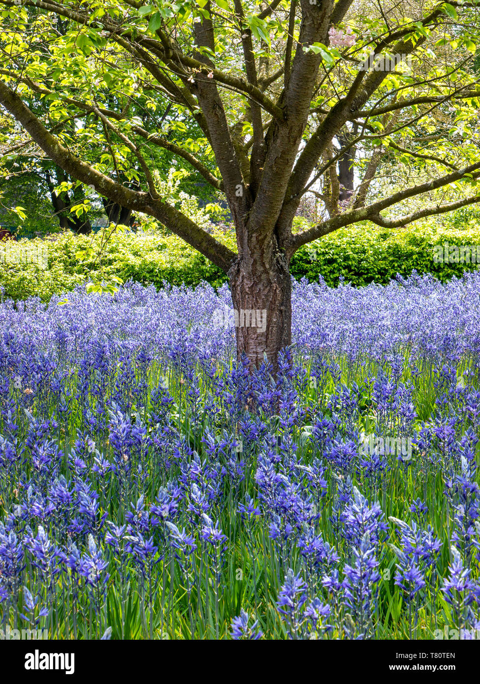 Camassia leichtlinii  known as Great Camas or Large Camas, a perennial herb. Subspecies C. leichtlinii subsp. suksdorfii in meadow with Beech tree - Stock Image