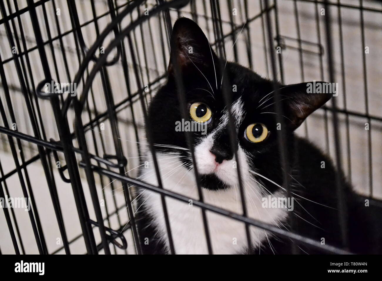 black and white feral cat stares pleadingly through cage bars at a local animal shelter - Stock Image