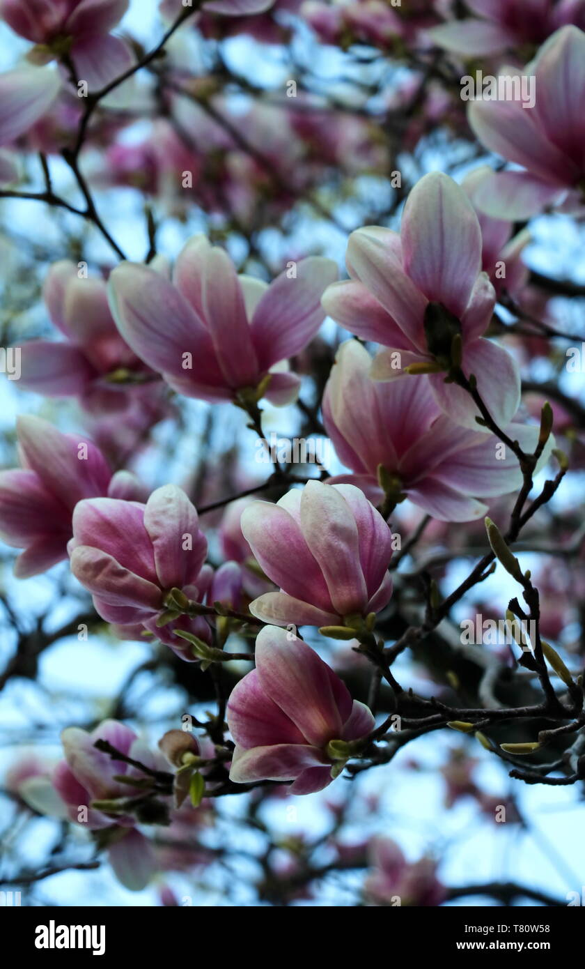branches of saucer magnolias - Stock Image