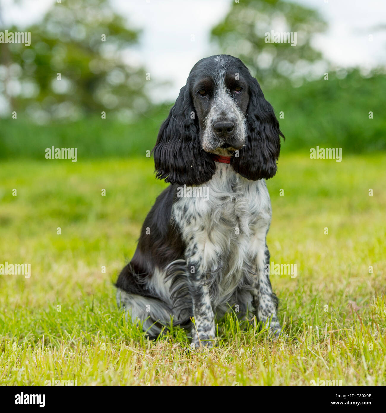 english cocker spaniel - Stock Image