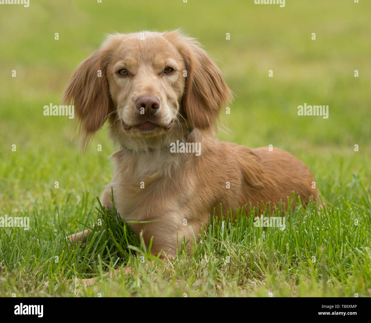 golden working cocker spaniel dog - Stock Image