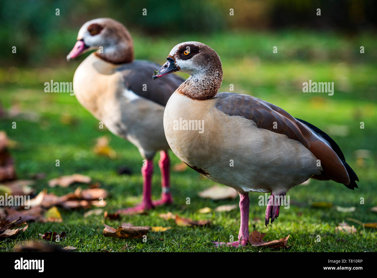 Egyptian Geese in Regents Park, one of the Royal Parks of London, England, United Kingdom, Europe - Stock Image