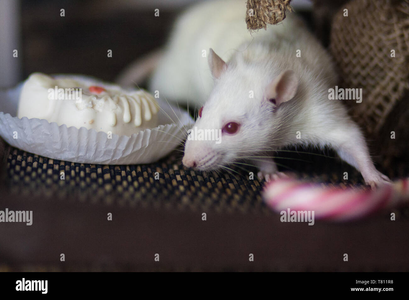 Obesity concept. Mouse and sweets. White rat. White mouse. The rat is eating. Closeup mouse. - Stock Image
