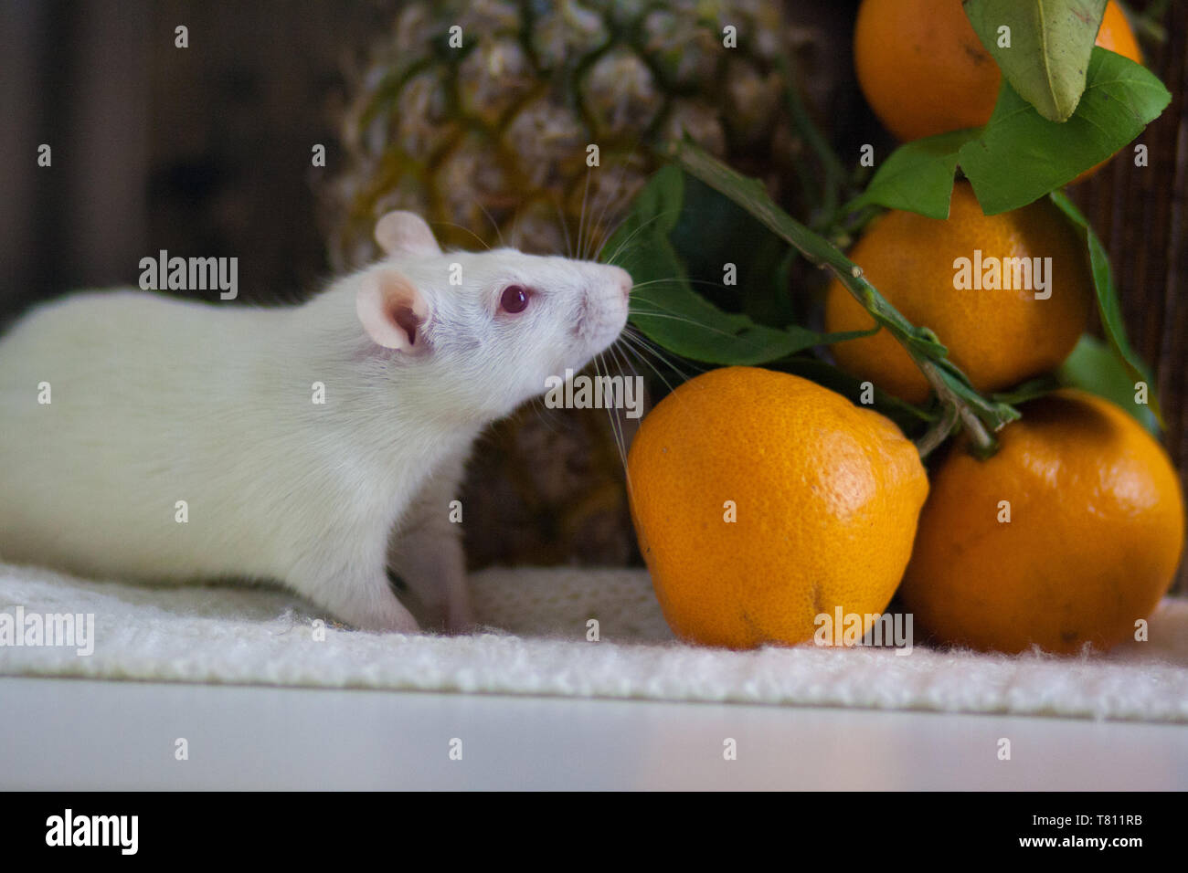 The concept of proper nutrition. Dietary food. Healthy fruits. White mouse. White rat. Mouse and fruit. Rat and food. - Stock Image