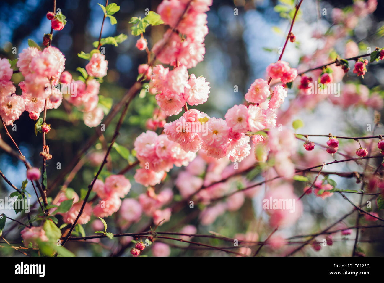 Close up of blooming luiseania in spring garden. Blossoming pink flowers of almond three-blade. - Stock Image