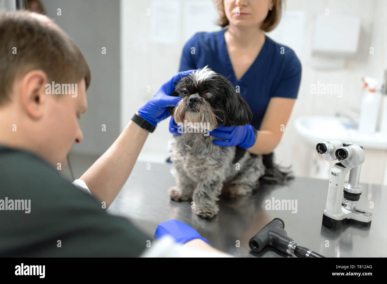 Veterinar, ophthalmologist examine the injured eye of a dog with a Veterinary, ophthalmologist prepare the a dog with injured eye to examine with a sl - Stock Image