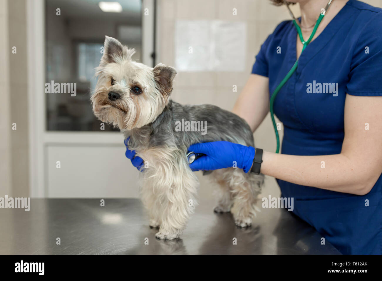 Young smiling professional veterinarian woman exam dog breed yorkshire terrier using stethoscope. - Stock Image