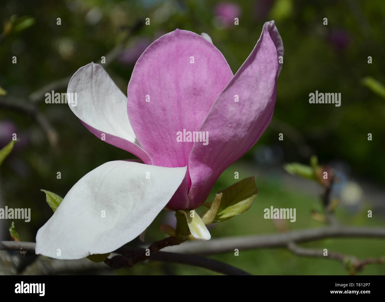 Magnolia Flower Tree Branches With Large Fragrant Magnolia Flowers