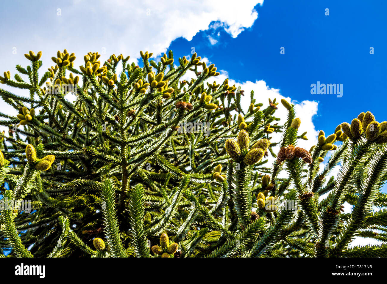Monkey Puzzle Tree (Araucaria araucana) at Kew Gardens, London, UK - Stock Image