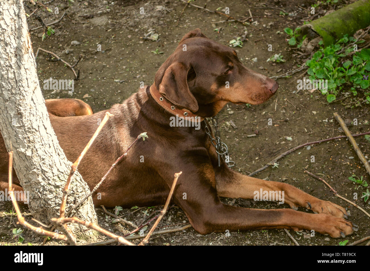Young female brown Doberman with uncircumcised ears on a leash, lying in the garden on the ground near the tree trunk - Stock Image