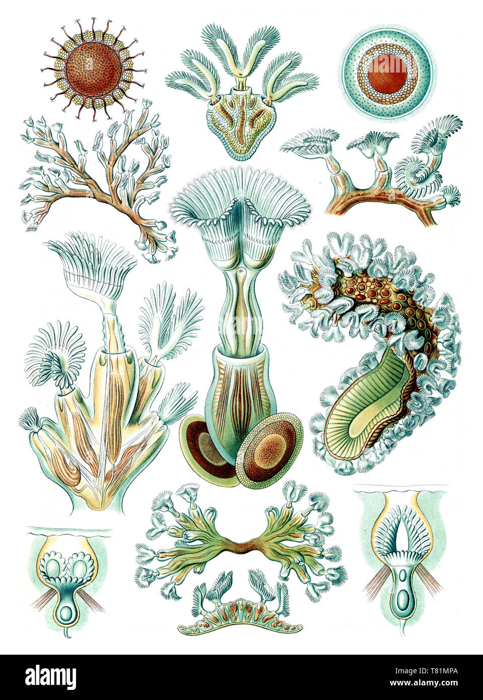 Ernst Haeckel, Bryozoa, Aquatic Invertebrates - Stock Image