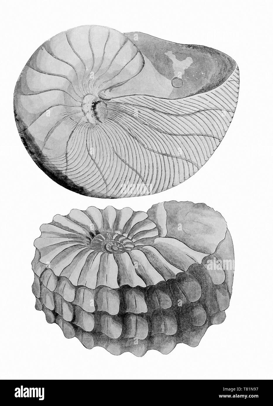 Nautilus and Ammonite - Stock Image