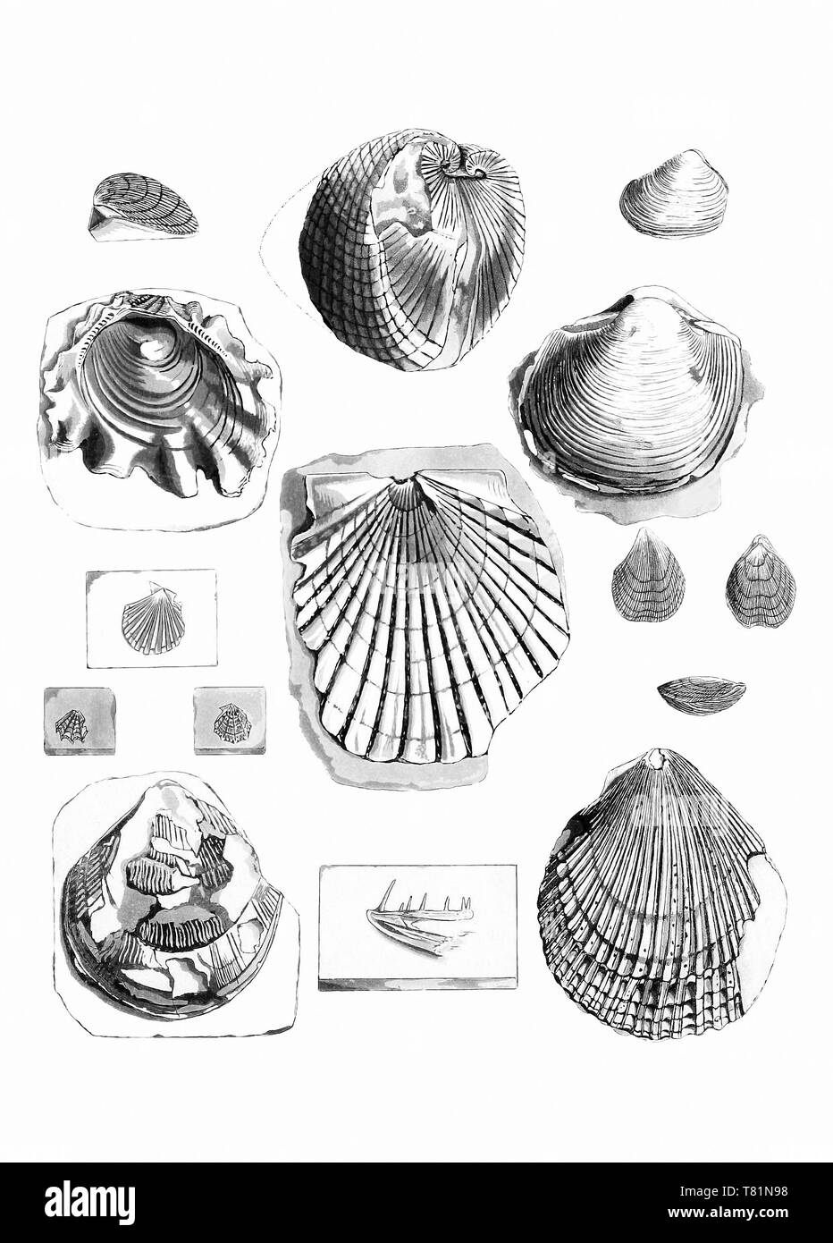 Fossil Bivalves and Brachiopods - Stock Image