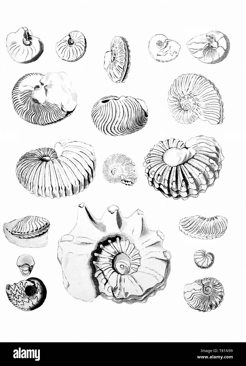 Cretaceous Ammonites - Stock Image