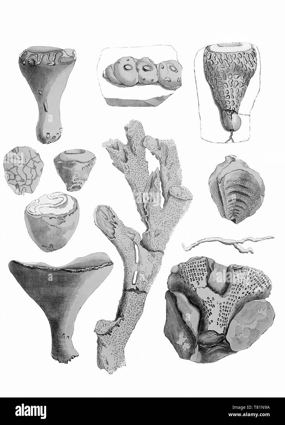 Cretaceous Sponges - Stock Image