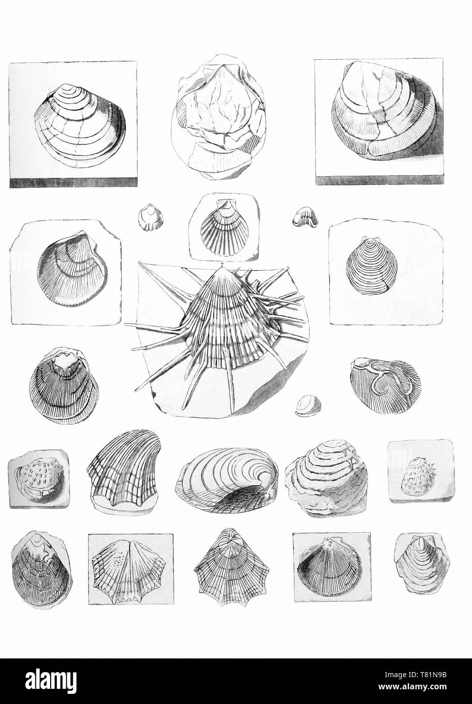 Fossil Clams and Scallops - Stock Image