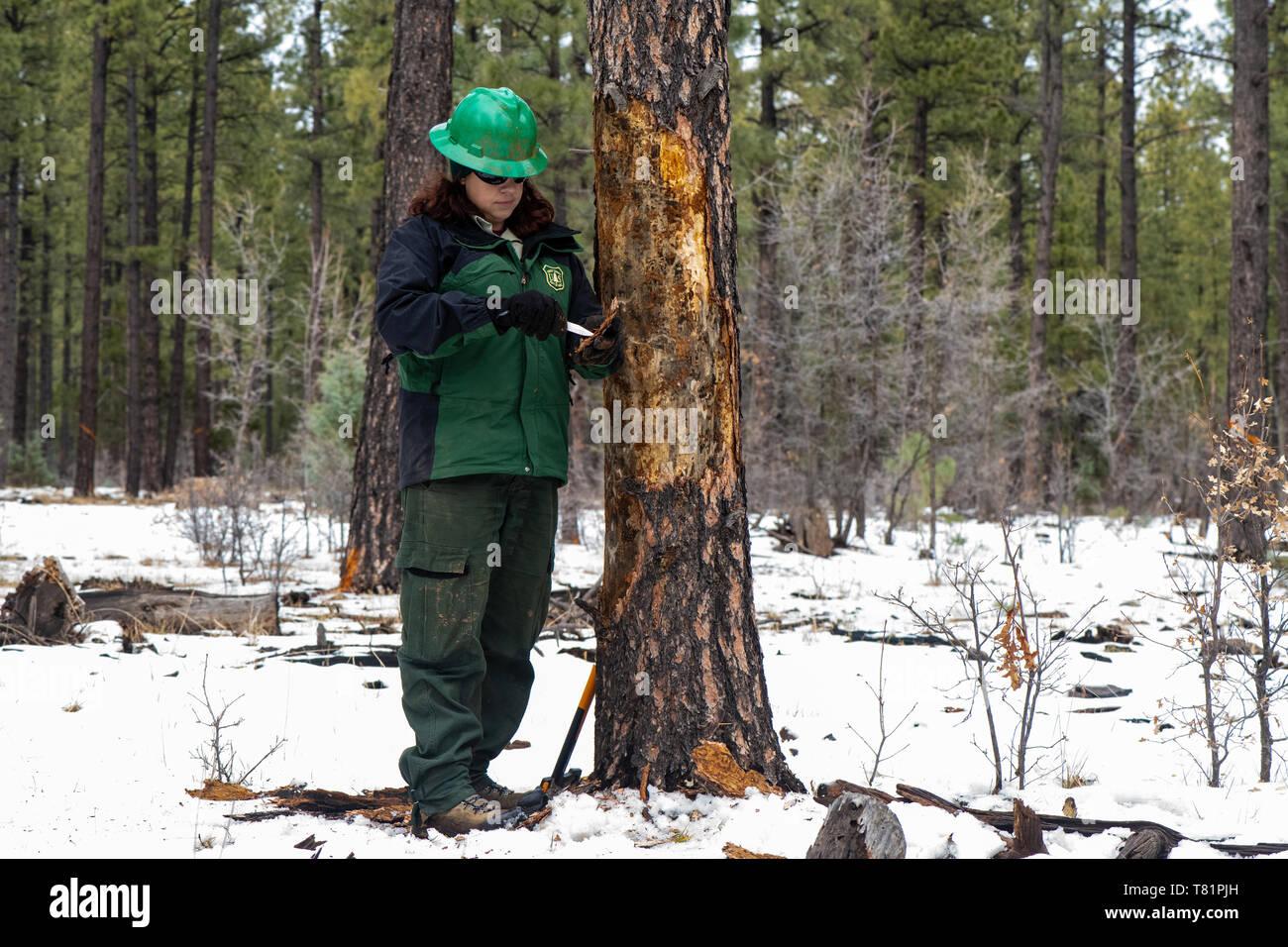 Looking for Beetles in Ponderosa Pine - Stock Image