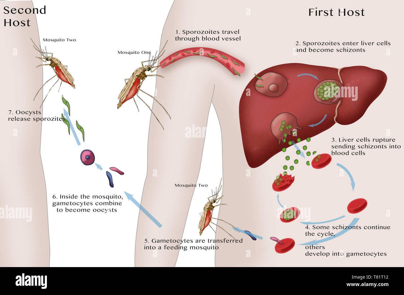 Malaria Cycle, Illustration - Stock Image