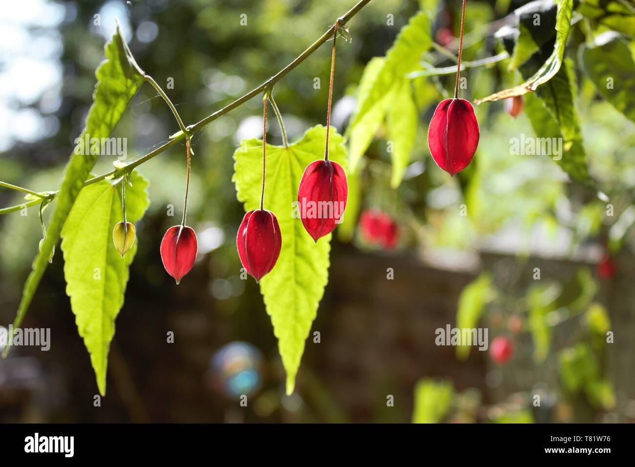 The Red Calyx Of A Trailing Abutilon Abutilon Megapotamicum Just