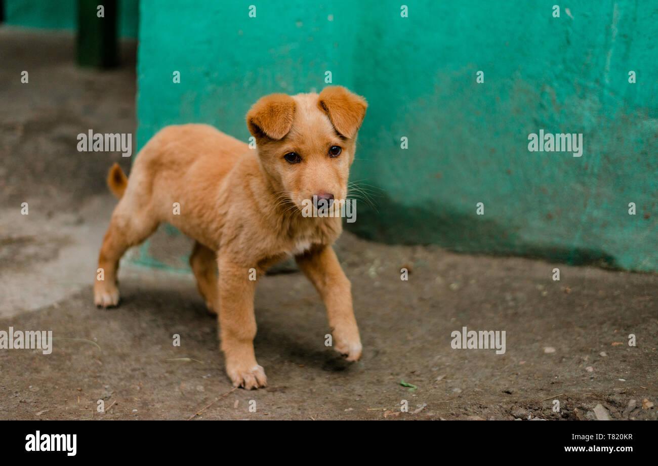 Photo of Indian dog in Himalaya Mountains, Himachal Pradesh, India - Stock Image