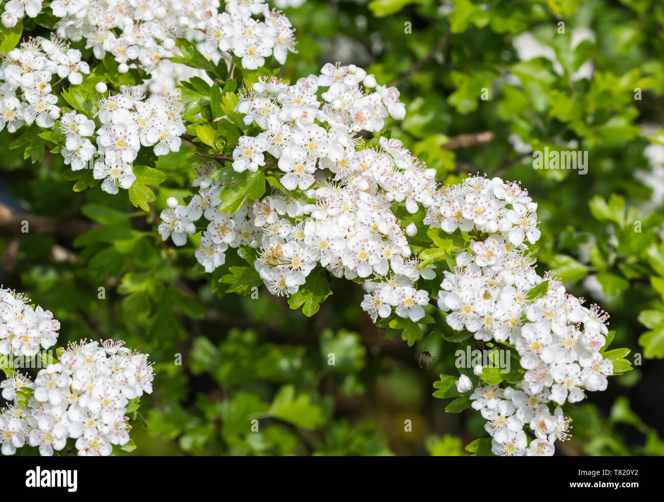White flowers from Common Hawthorn tree (Crataegus monogyna), AKA Quickthorn, Whitethorn, Hawberry in Spring (May) in West Sussex, UK. - Stock Image