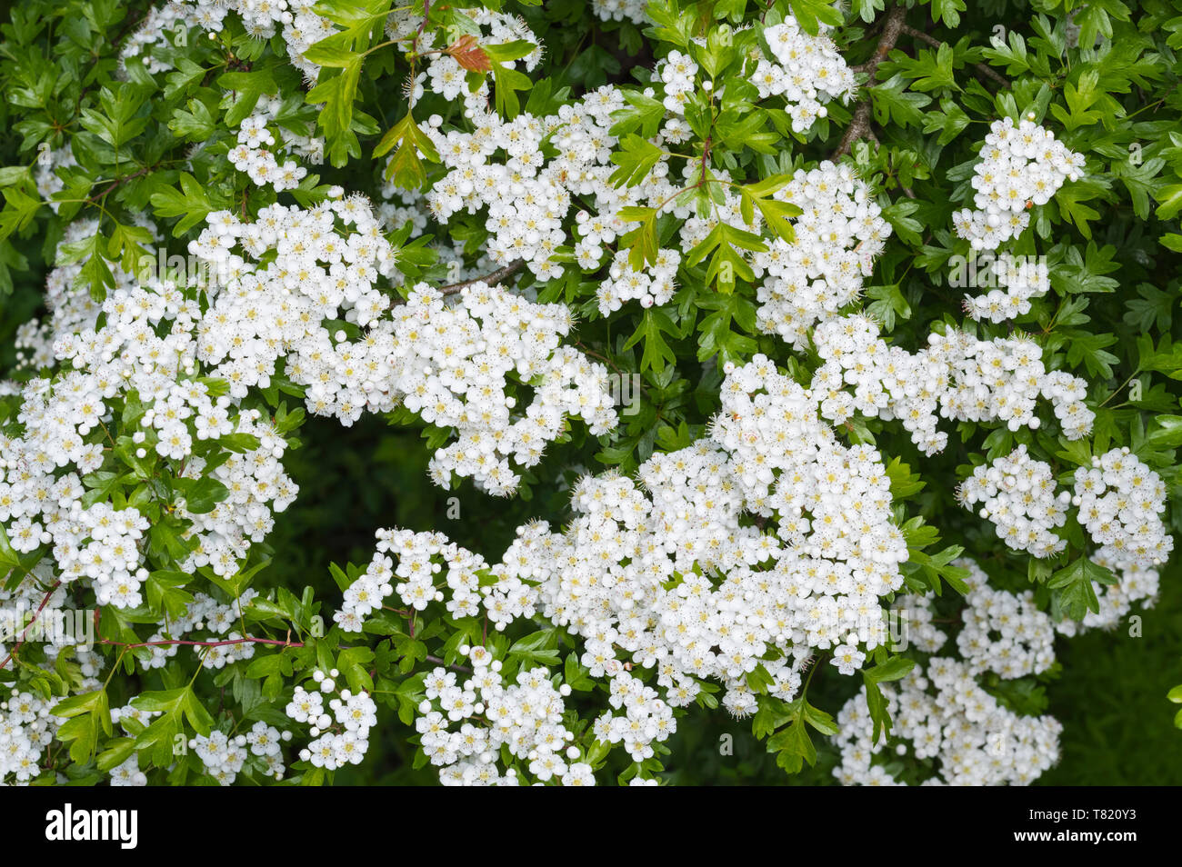 Common Hawthorn tree (Crataegus monogyna), AKA Quickthorn, Thornapple, May-tree, Whitethorn, Hawberry in Spring (May) in West Sussex, UK. - Stock Image