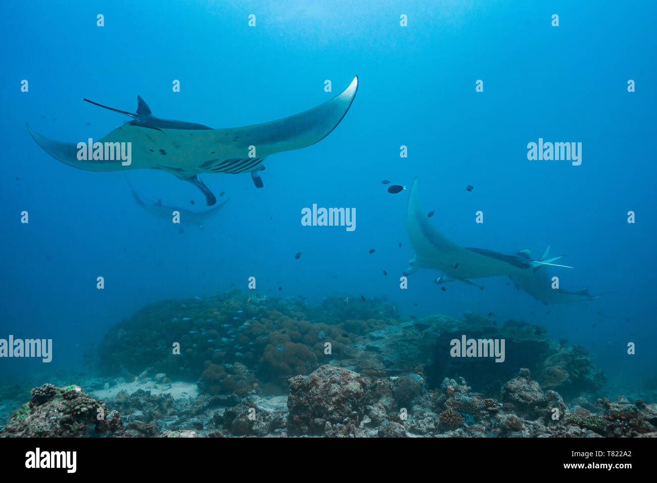 manta rays flying through the water of the maledives with blue background - Stock Image