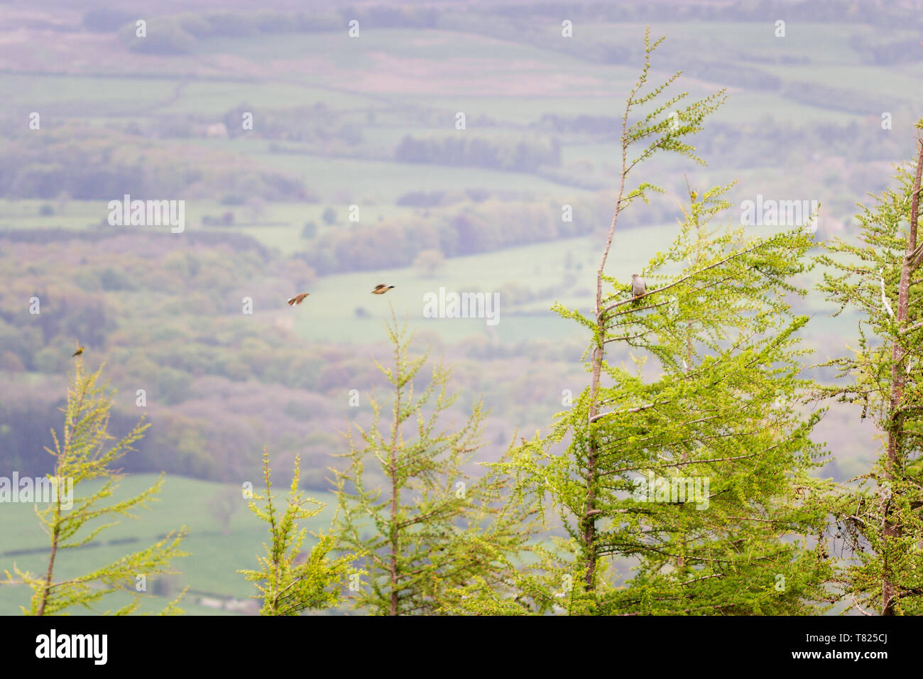 UK wildlife: Cuckoo perched in a tree top being mobbed by lots of birds including meadow pipits and a siskin - Stock Image