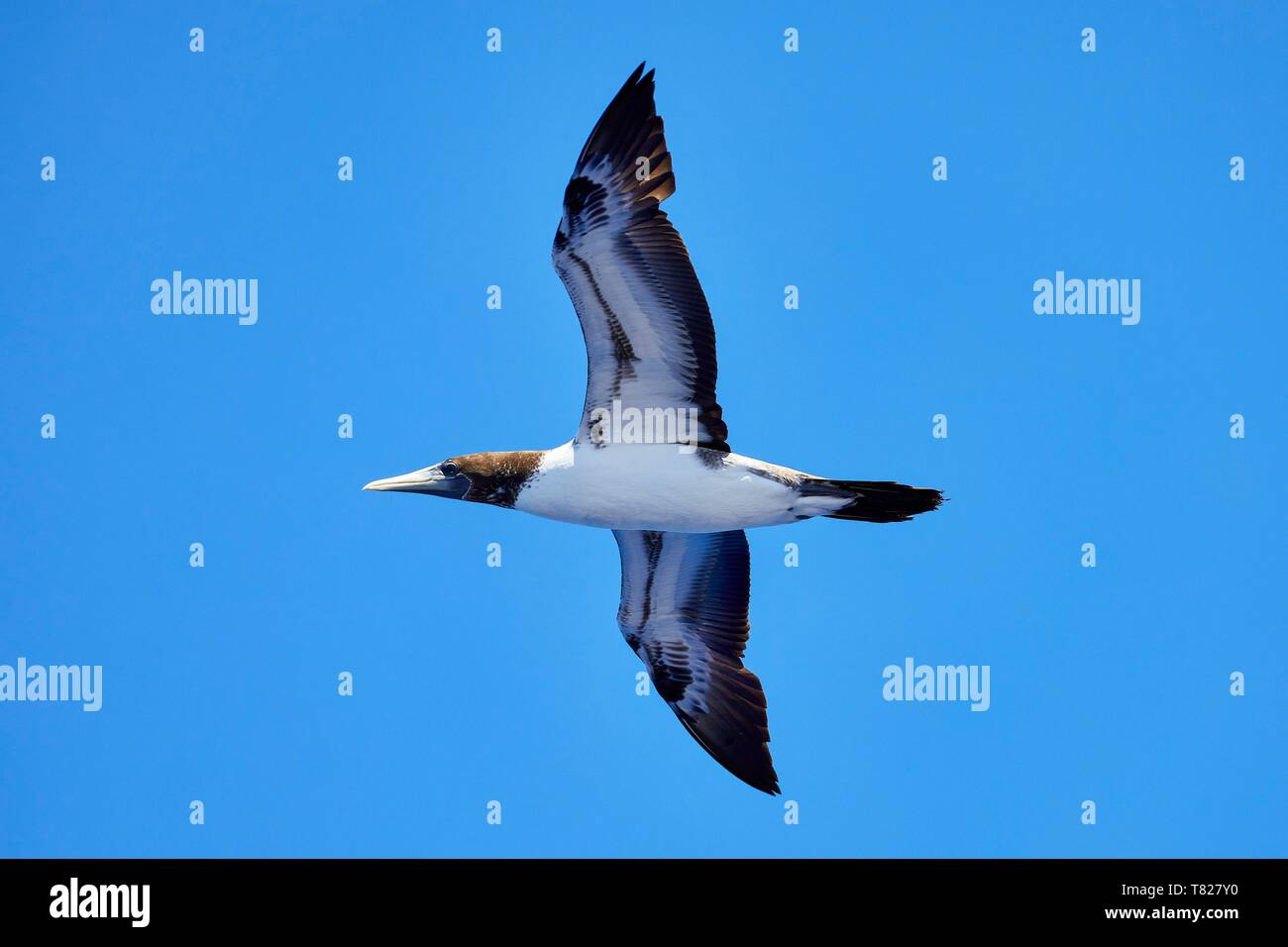 France, Indian Ocean, French Southern and Antarctic Lands, Scattered Islands, Tromelin Island, Masqued Booby (sula dactylatra) - Stock Image