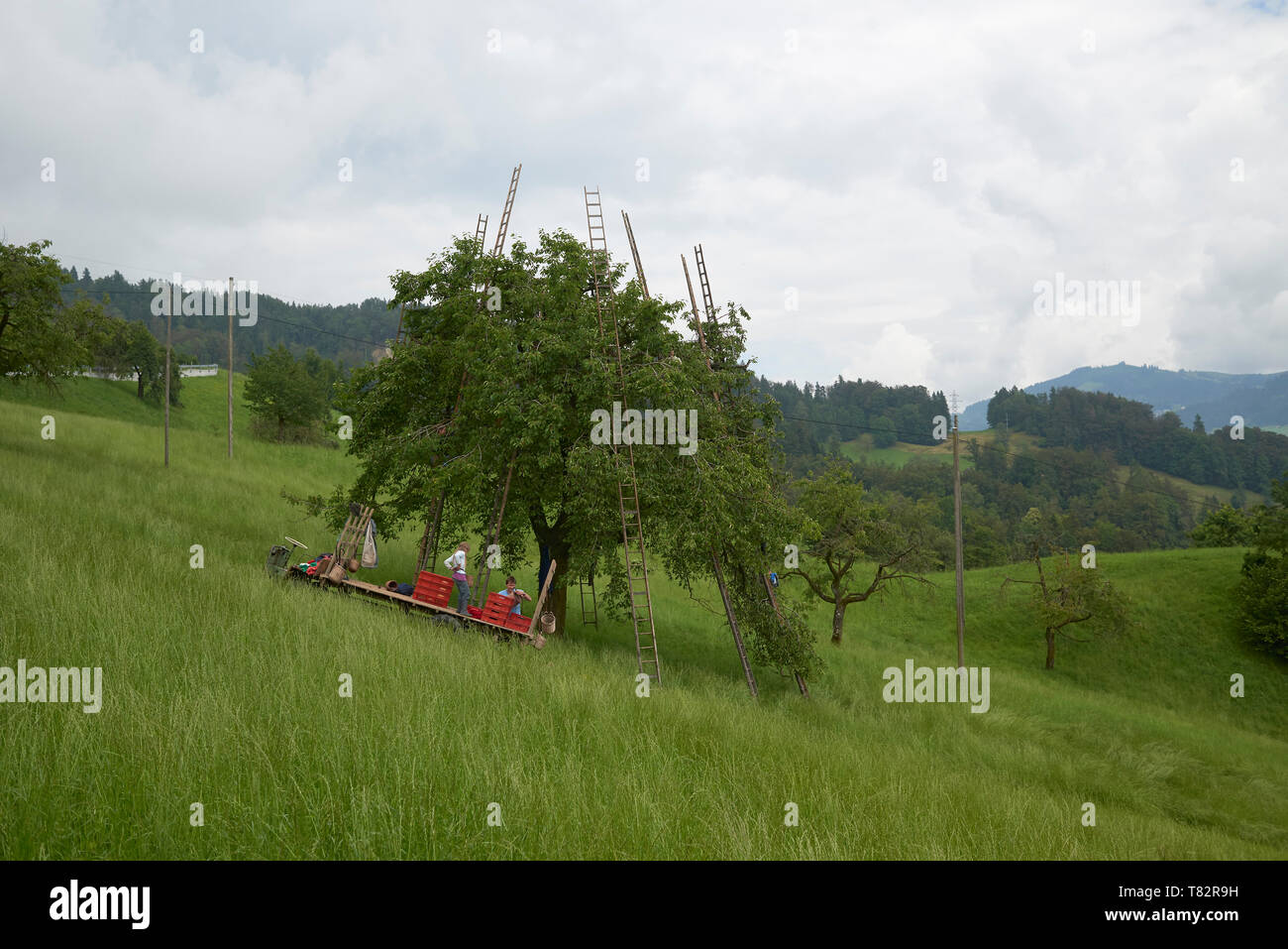 Family picking apples from the tree using large wooden ladders in a filed on a hill - Stock Image