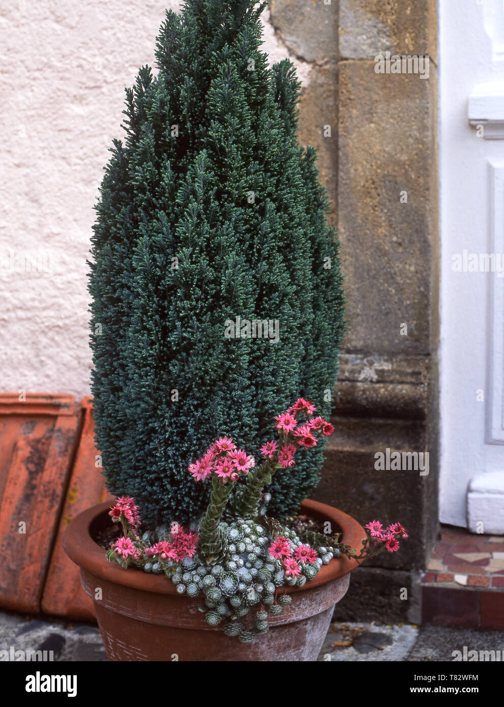 Slow growing conifer with cobweb houseleek (Sempervivum arachnoideum-rose) by the front door of a Gascony farmhouse. - Stock Image