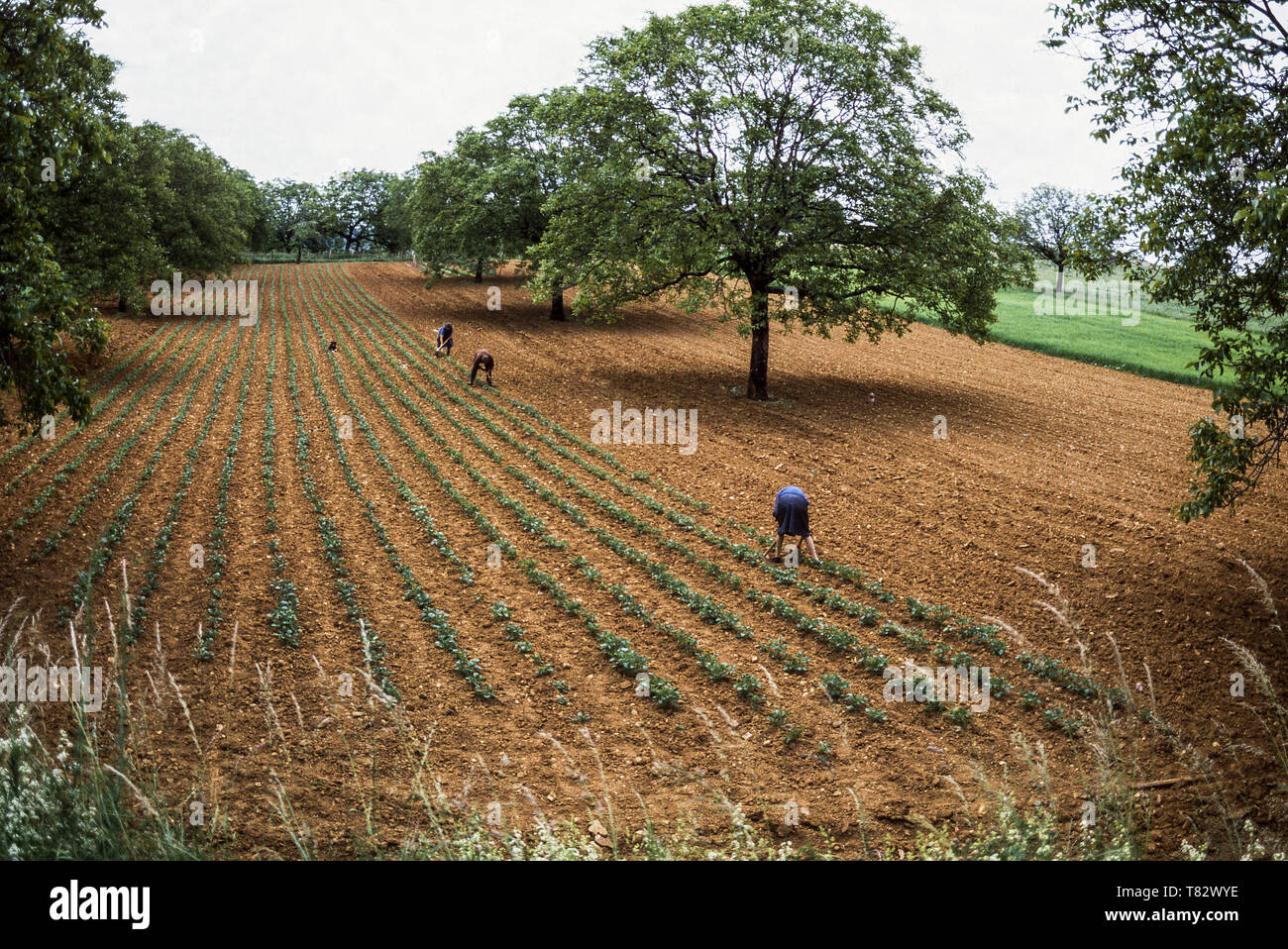 Three people hand hoeing-up a large field of potatoes near St. Robert village in Dept.Lot & Garonne. The village is 25k from Agen.France - Stock Image