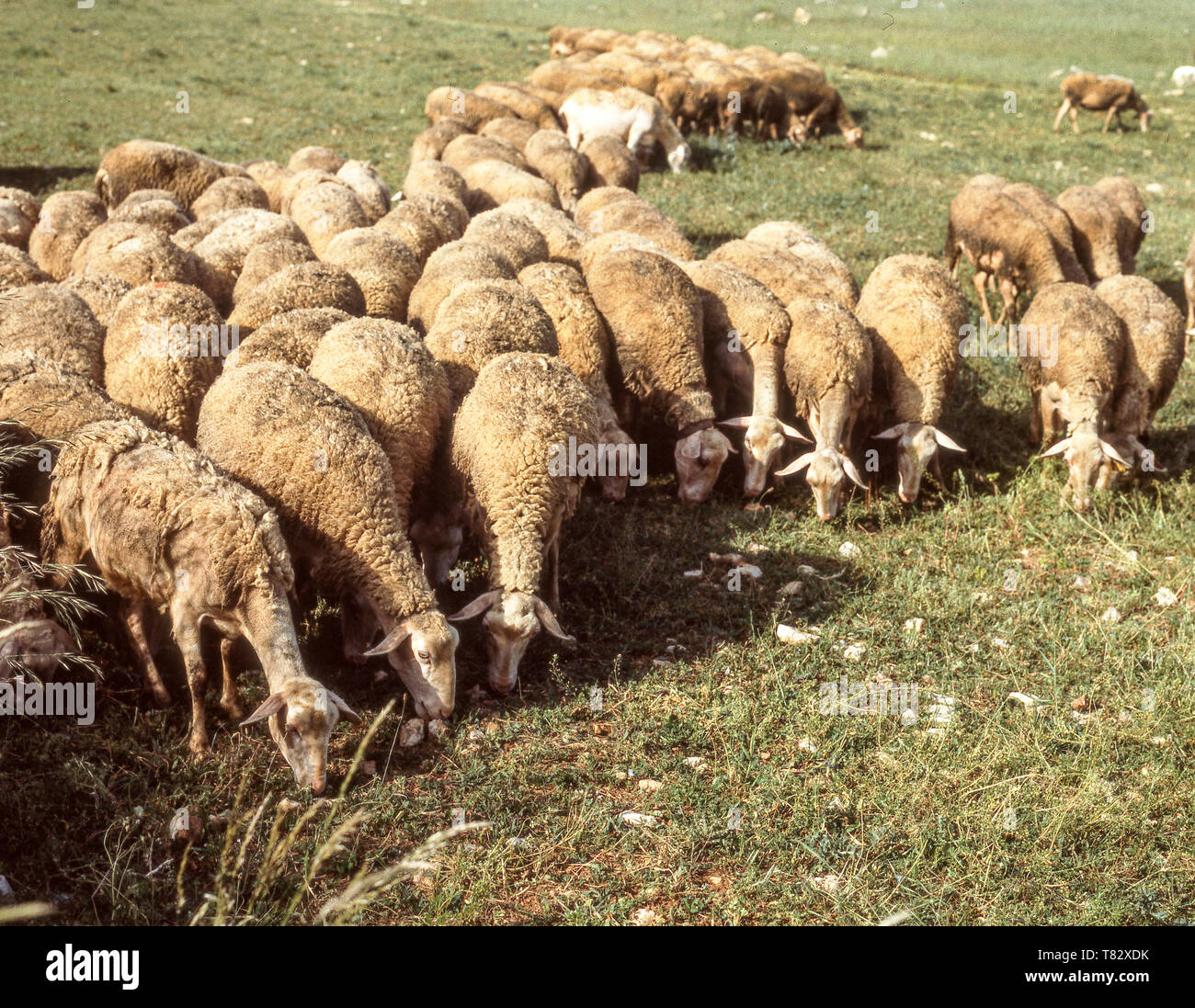 Sheep grazing on the Causse Mejean;a plateau about 10 k from the Gorges du Tarn.Dept Lozere. France - Stock Image