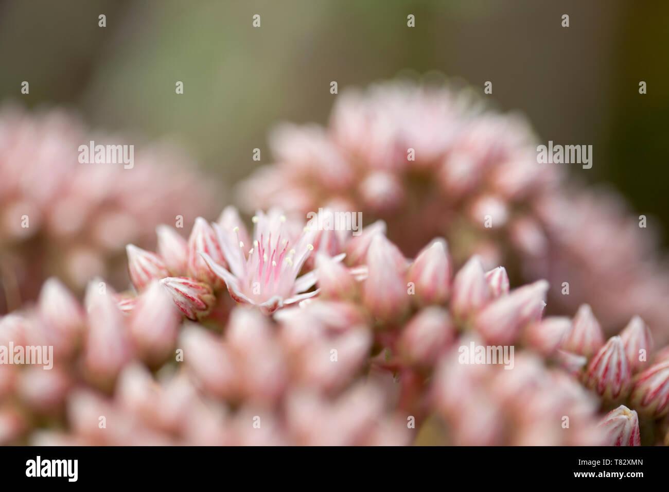 Flora of Gran Canaria - pink flowers of succulent plant ... on lady's mantle plant, hyssop plant, scilla violacea plant, hellebore plant, poppy plant, gold flower plant, bottling plant, daffodil plant, hops plant, yarrow plant, lemon verbena plant, lemon balm plant, goat's beard plant, catmint plant, sage plant, perennial plant, birch plant, thyme plant, holly plant,