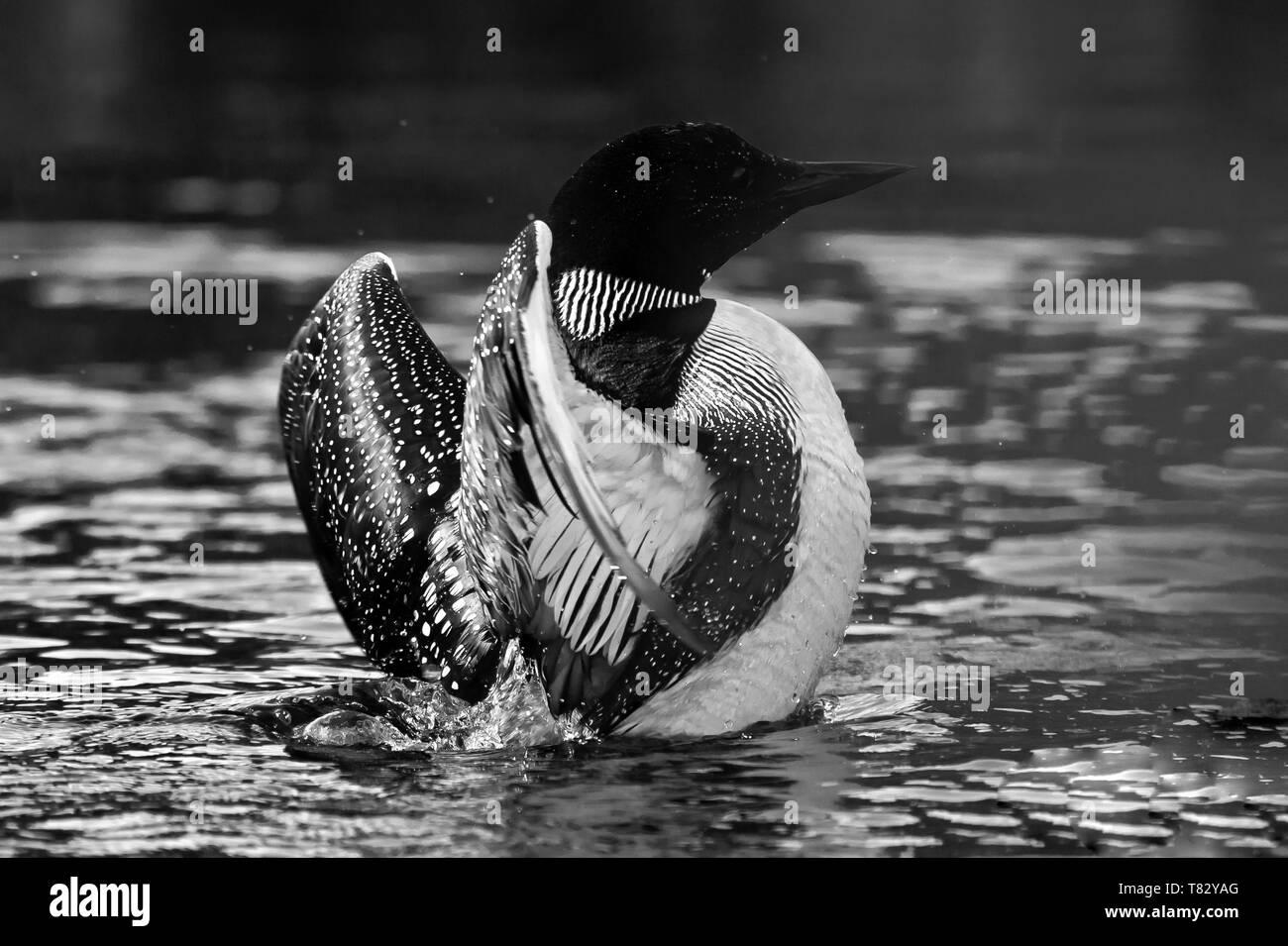 Common Loon Photos - Stock Image