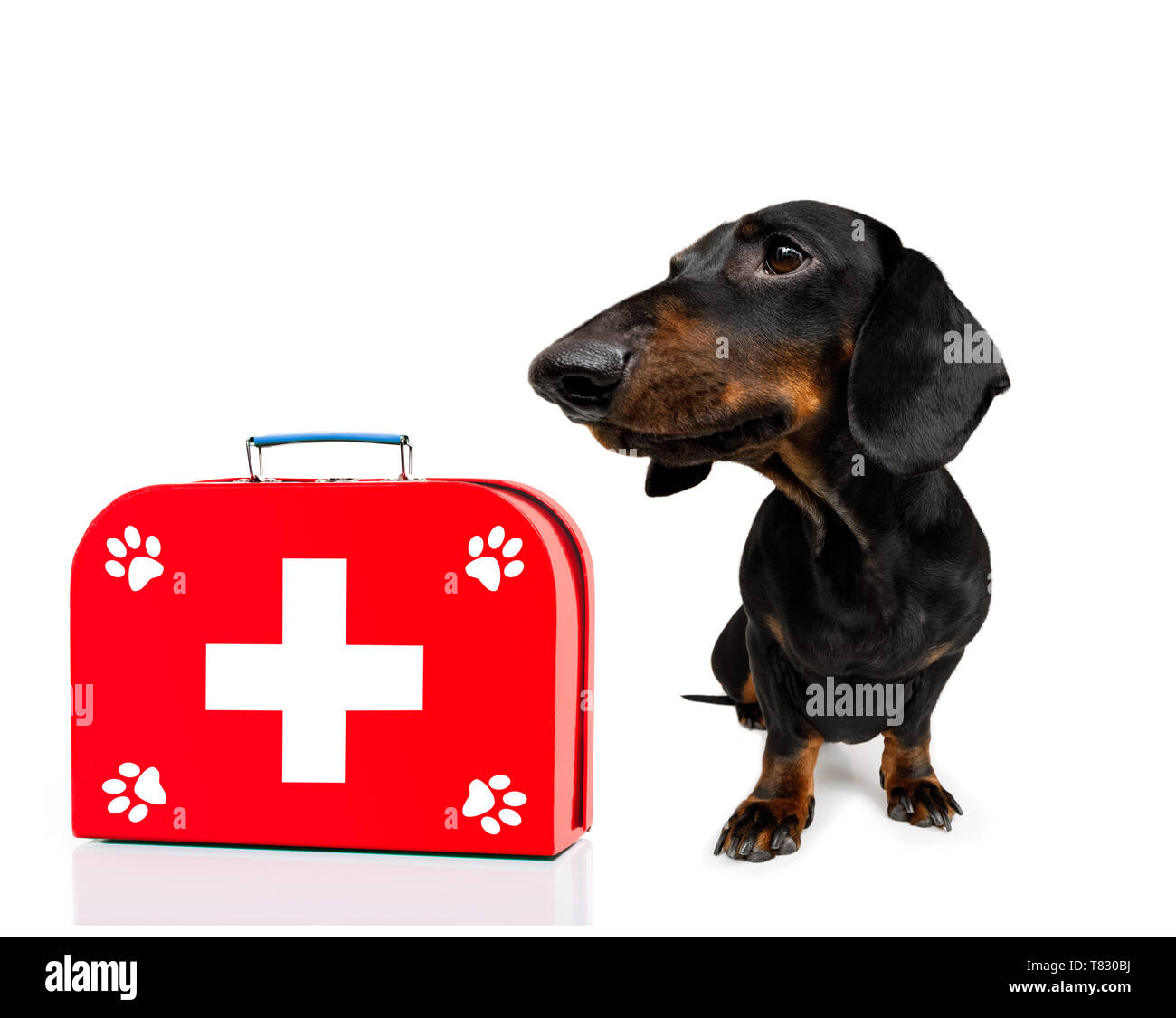 sausage dog as a medical veterinary doctor with stethoscope and first aid kit ,isolated on white background - Stock Image